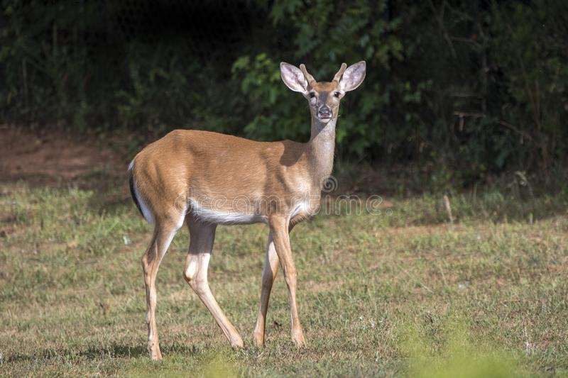 Young White Tailed Deer buck in Velvet Antlers. White-tailed Deer with growing antlers covered in velvet, foraging in backyard lawn in Athens, Clarke County royalty free stock photo
