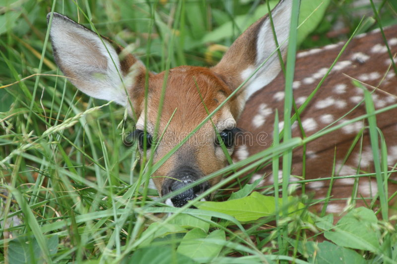 Download Young White-tailed Deer Fawn Stock Photo - Image: 5238738