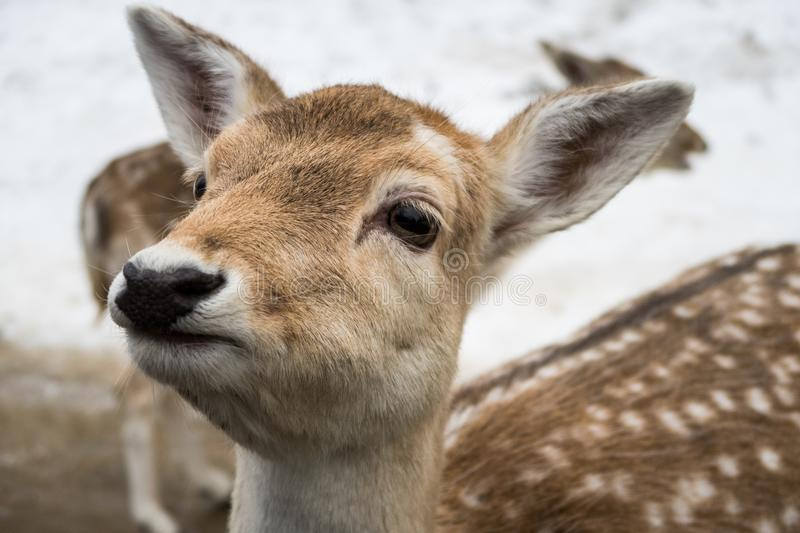 Close up portrait of a fawn white tailed deer in tall grasses royalty free stock image