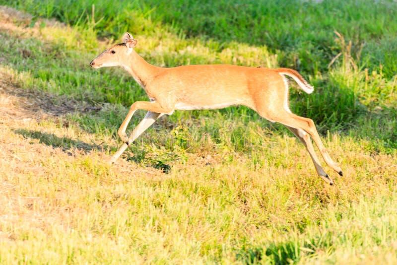 Young White-tailed doe running into the brush. A White-tailed doe running into the brush at Bald Knob National Wildlife Refuge stock images