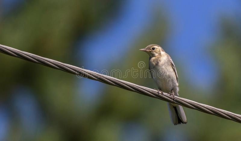 Young white wagtail bird on a cable. Young white wagtail motacilla alba bird on a cable with soft green and bleu background stock images