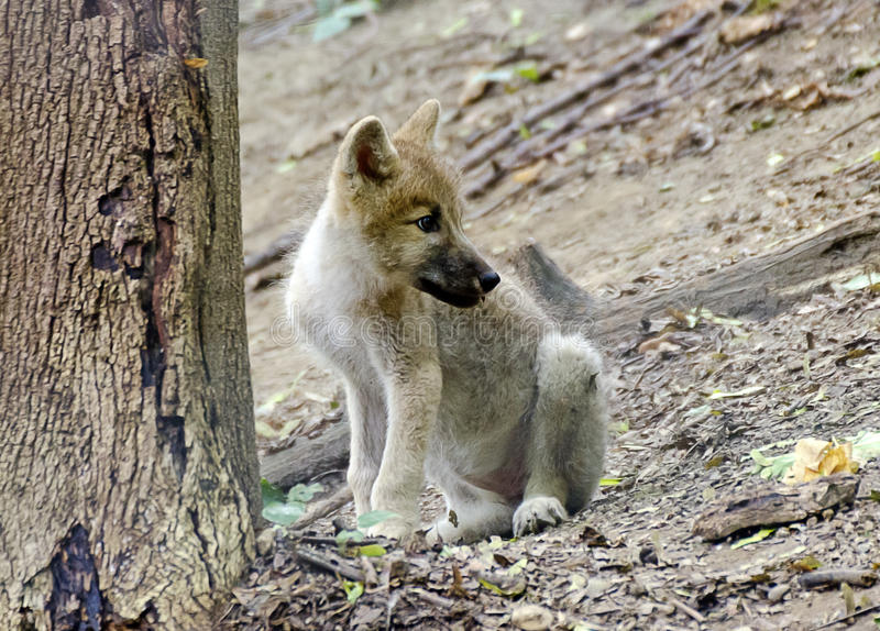Young white wolf at the forest stock photos