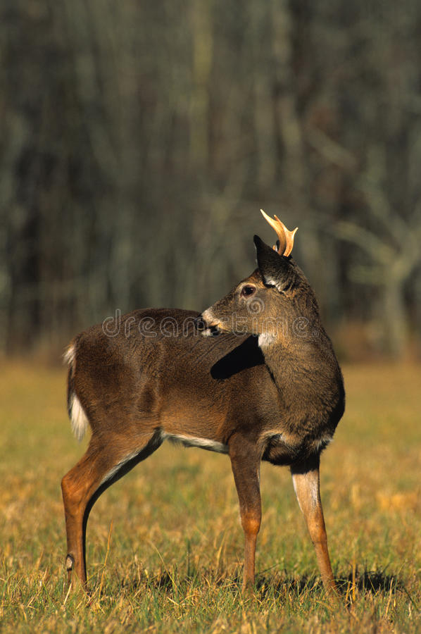 Download Young Whitetail Buck stock image. Image of nature, hunt - 11299707