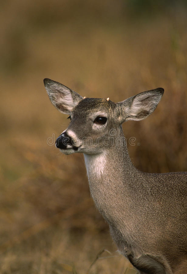 Young Whitetail Buck royalty free stock photography