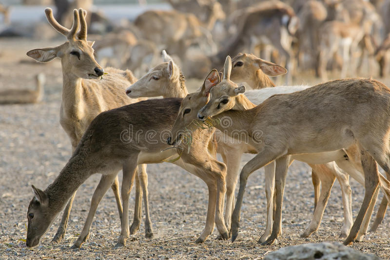 A young Whitetail Buck is with a group of Does. stock photo