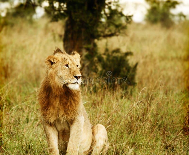 Young wild african lion. Africa. Kenya. Masai Mara royalty free stock photos