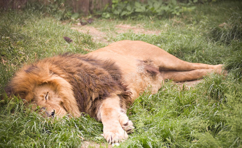 Young wild african lion royalty free stock image