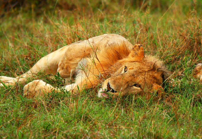 Young wild african lion playing stock photos