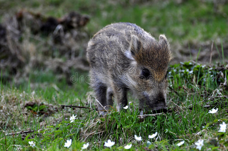 Download Young wild boar stock photo. Image of brown, litter, wildlife - 14074074
