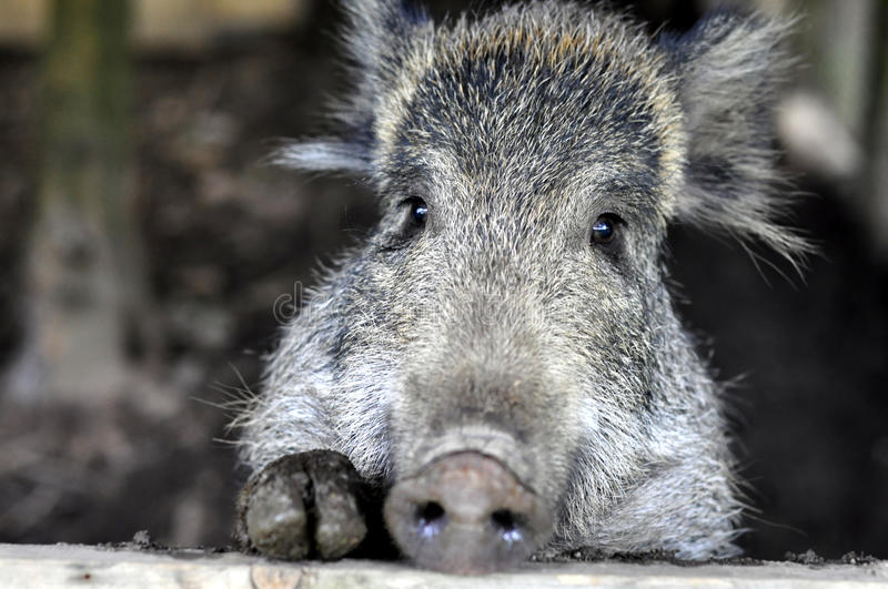 Download Young wild boar stock photo. Image of swine, leaves, boar - 15501512