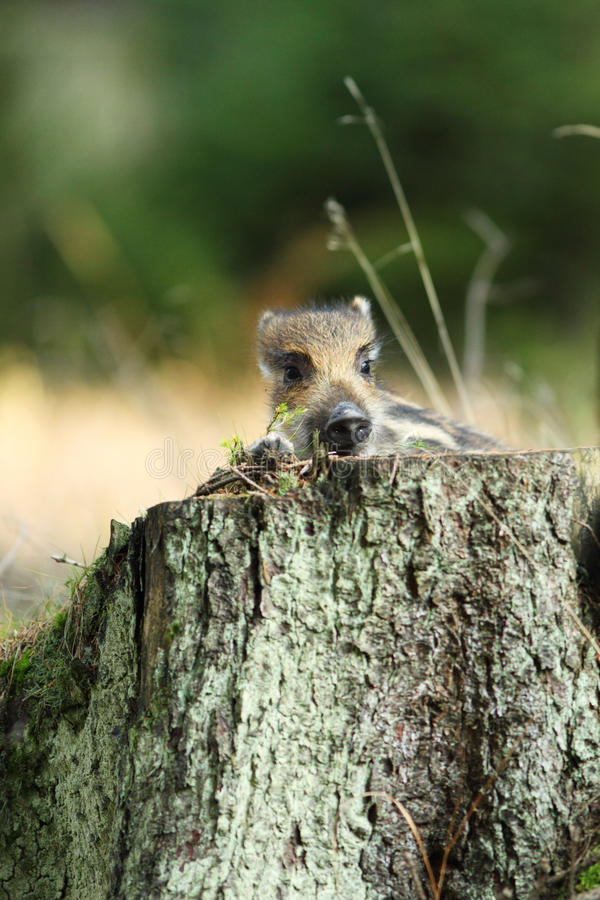 Free Young Wild Boar Stock Image - 19177161