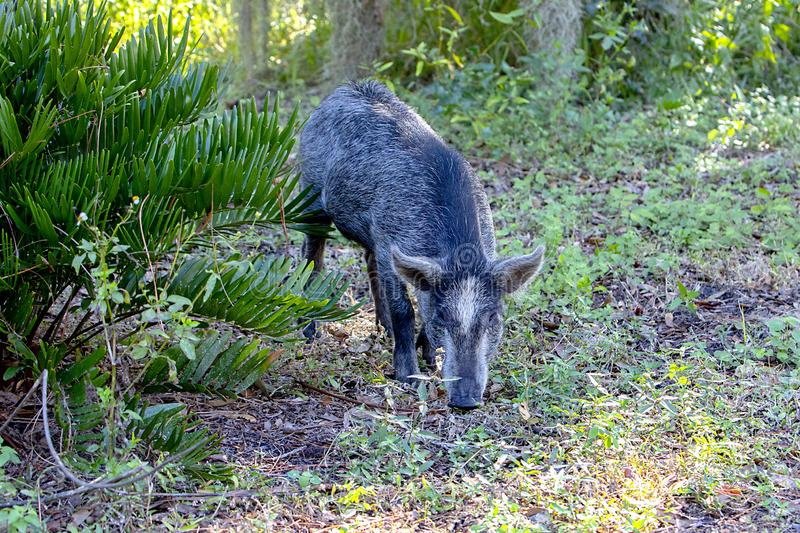Young Wild Boar, Hog stock image