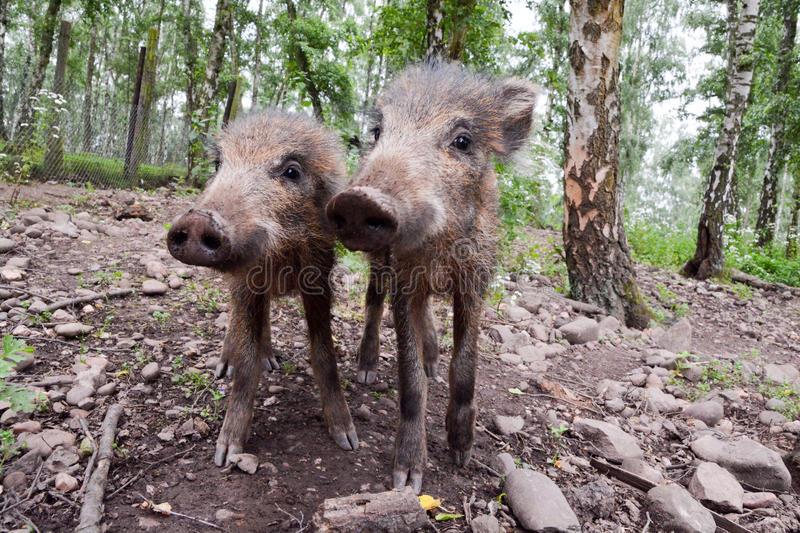 Young wild boar stock photography