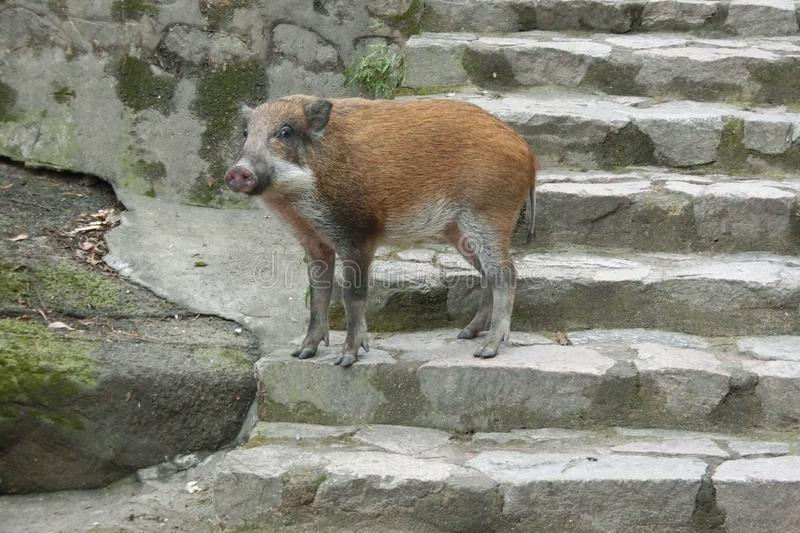 A young wild boar in Shatin Hong Kong. A young wild boar walking in Shatin Hong Kong. It appeared in a public BBQ site to look for food stock photo