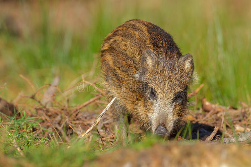 Download Young Wild Boar In Spring Forest Stock Photo - Image: 29049276
