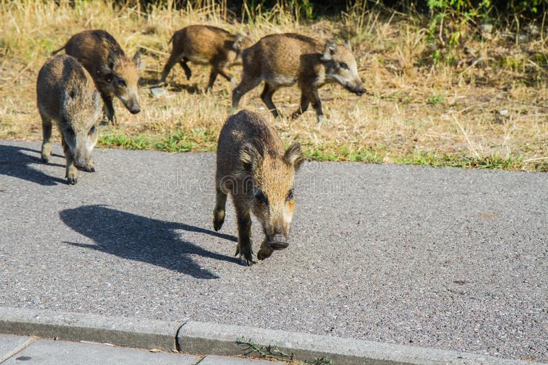 Young Wild boars royalty free stock photos