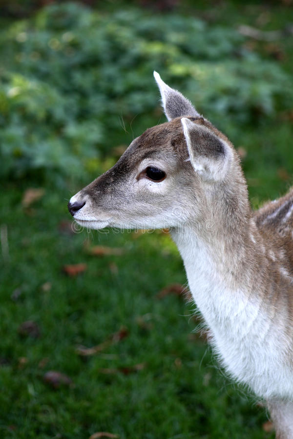 Young wild deer royalty free stock photography