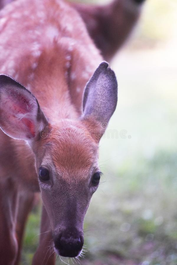 Young wild deer with its head bowed. In a forest royalty free stock photos