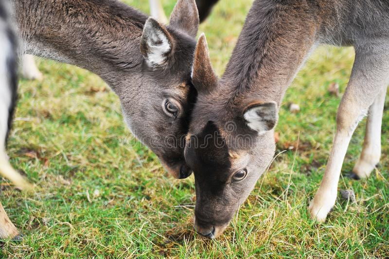 Young wild deers outdoor royalty free stock image