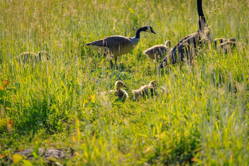 Young wild goose in the high grass.  royalty free stock photos