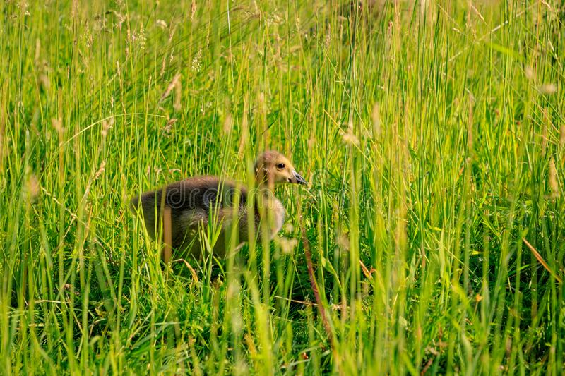Young wild goose in the high grass.  stock photography
