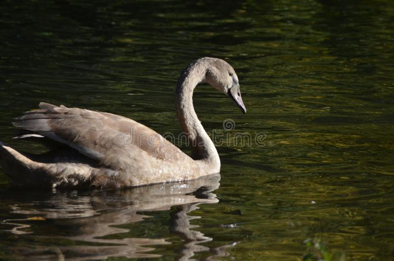 Young wild grey swan cygnet from the side in the sunshine in the water, bird photography in nature royalty free stock photos