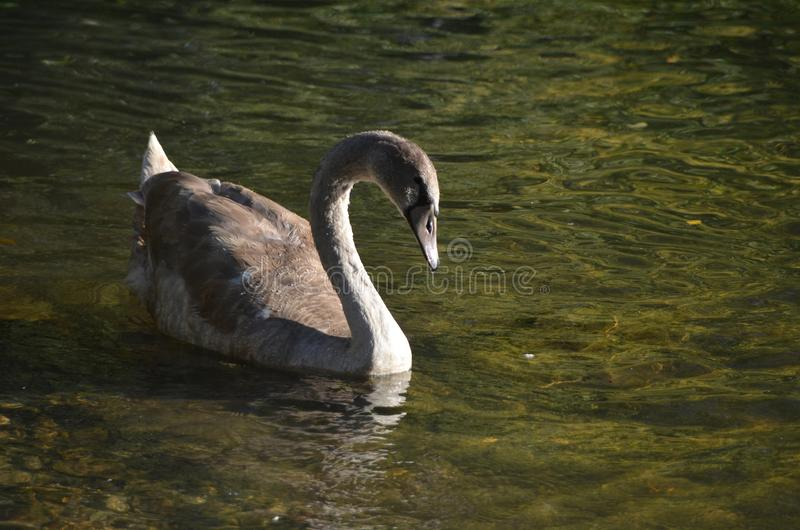 Young wild grey swan cygnet in the sunshine in the water, bird photography. At a lake in Europe in the autumn of 2018 stock photos