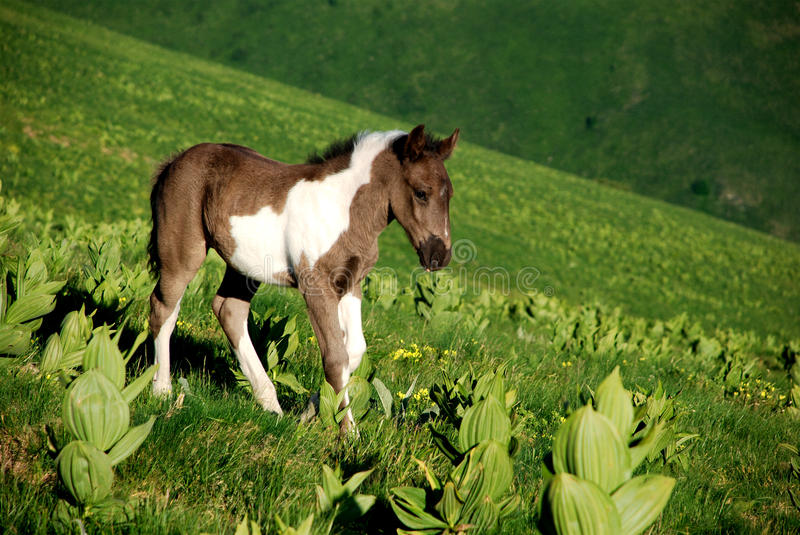 Download Young Wild horse in nature stock image. Image of western - 10755271