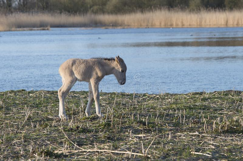 Young wild horse near the water stock photography