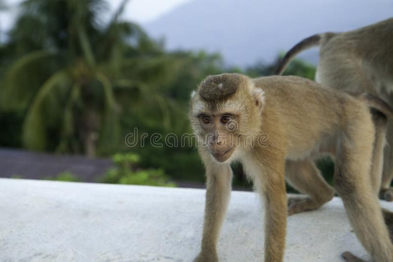 Young wild monkey on a background of jungle and mountains. royalty free stock photo