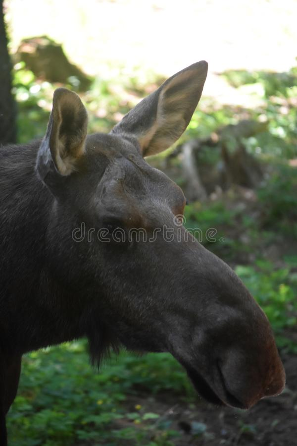 Young Wild Moose in Maine Up Close stock image