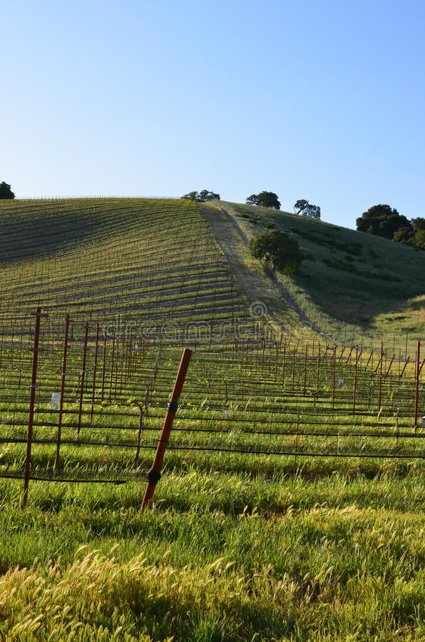 Young wine field royalty free stock photography