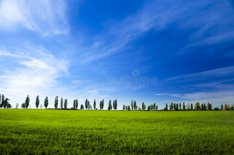 Young winter wheat on blue sky background stock image