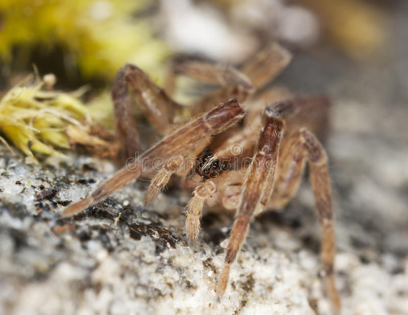 Download Young Wolf Spider Stock Photos - Image: 18941643