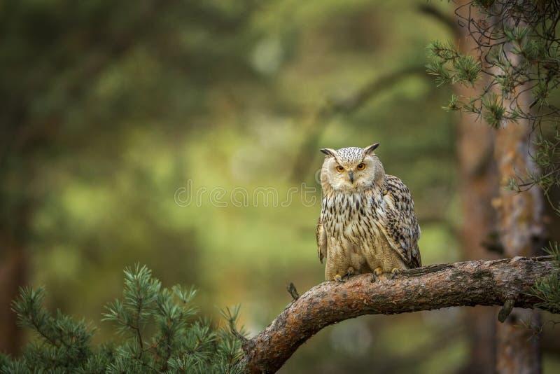 siberian eagle qwl stock image