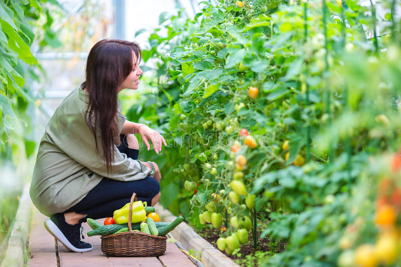Young woman with basket of greenery and vegetables in the greenhouse. Harvesting time royalty free stock photos