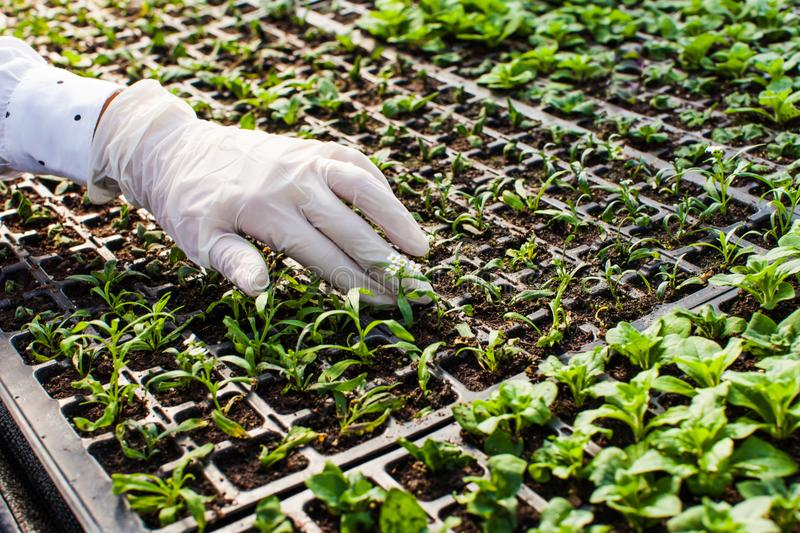 Young woman biologist. Reseaches the sprout in greenhouse royalty free stock image