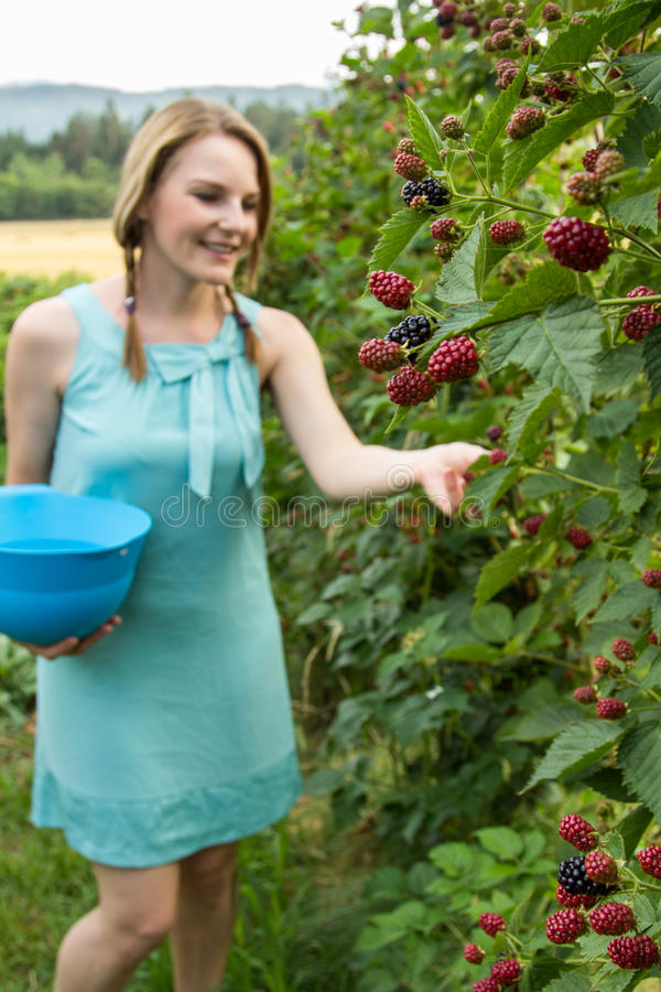 Young woman in blue dress picking blackberries royalty free stock photo