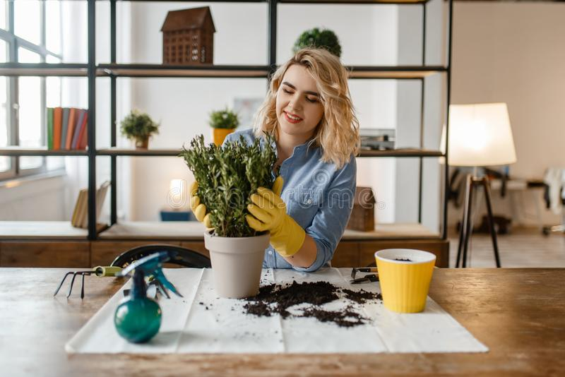 Young woman changes the soil in home plants stock photo