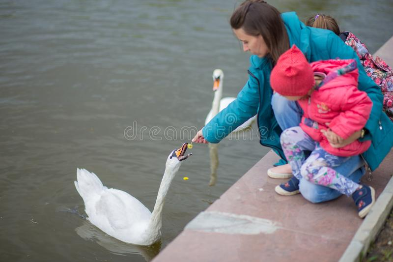 The young woman with the child feeds a white swan in a city pond with dandelions stock images