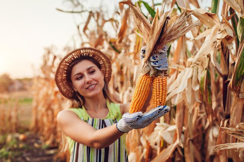 Young woman farmer picking corn harvest. Worker holding autumn corncobs. Farming and gardening stock images