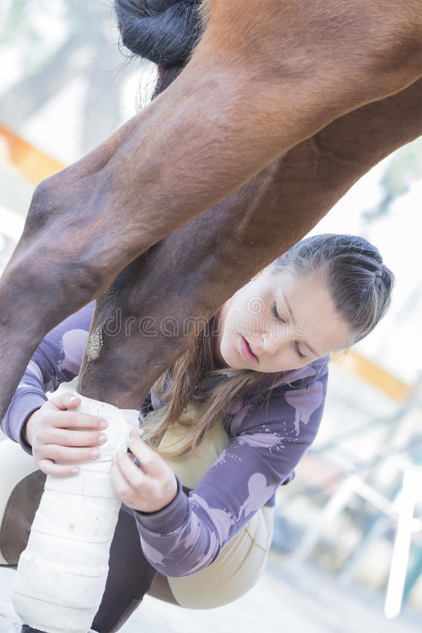 Young woman grooming her horse. Girl is putting white bandages on a purebred brown horse's legs at the byre - focus on the face royalty free stock photo