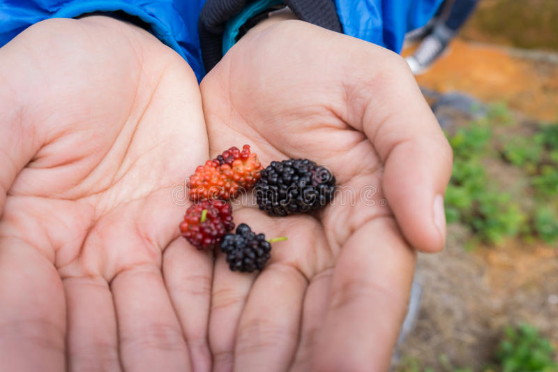 Young woman hands holding fresh mulberries from the garden stock photos