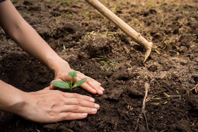 Young woman hands planting tree sapling. stock photo