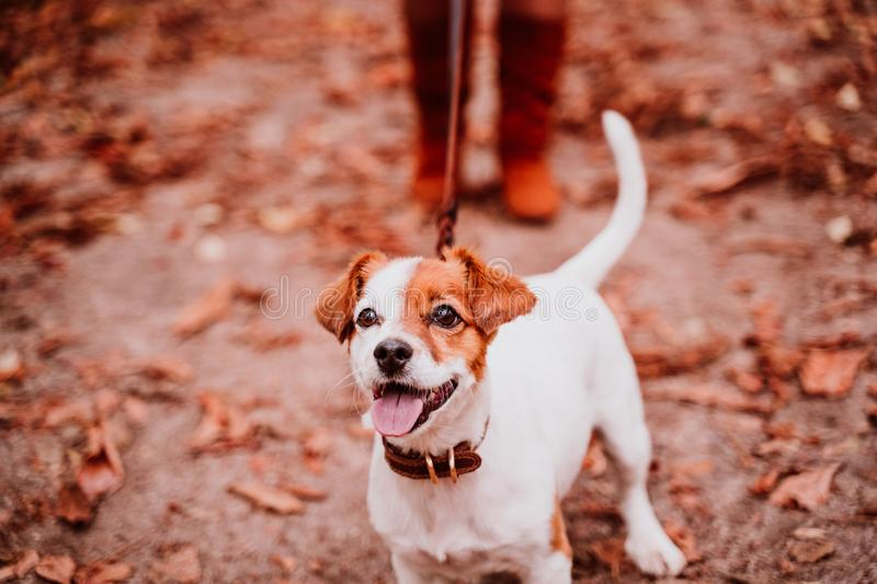young woman and her cute jack russell dog walking in a park. Love for animals concept royalty free stock photos