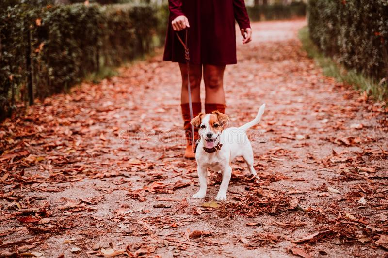 young woman and her cute jack russell dog walking in a park. Love for animals concept stock photography