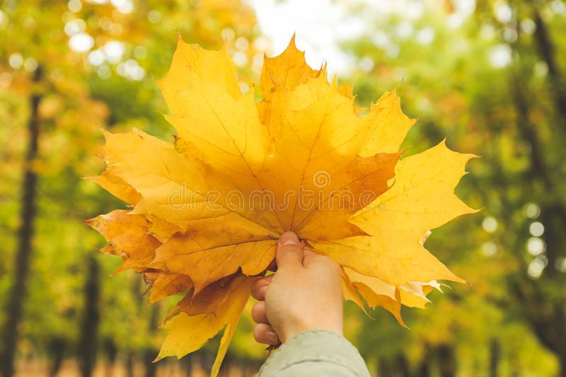 Young woman hold yellow leaves in autumn park. Close up royalty free stock photo