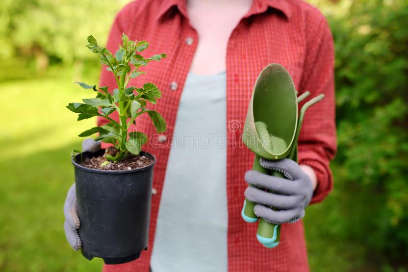 Young woman holding gardening tools and seedling in plastic pots on the domestic garden at summer sunny day stock photo