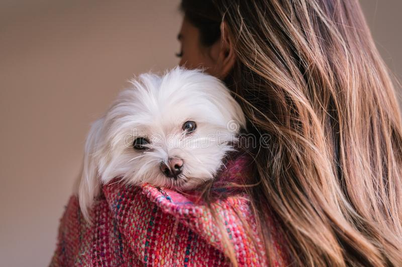 Young woman holding her maltese dog on shoulder at home. Pets and lifestyle. back view stock photos