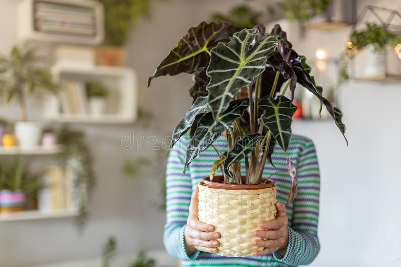 Woman holding potted plant in hands royalty free stock image